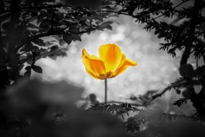 Image of a yellow tulip surrounded by black and white foliage. This image is representative of the clarity and hope you can feel after EMDR therapy in Baltimore, MD. | 21209 | 21204